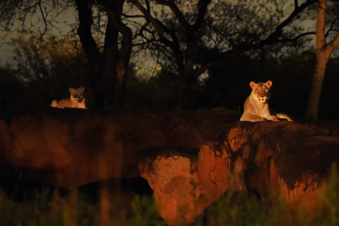 See all the animals at night in the new Sunset Kilimanjaro Safaris