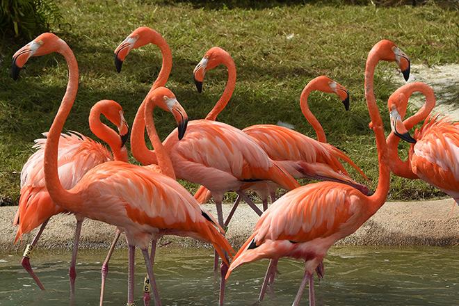 The flock of flamingo is now enjoying their new habitat at Zoo Miami