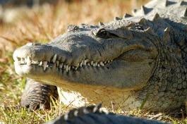 taw_gatorland-crocodile